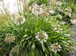 agapanthus-adernei