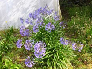 agapanthus-castle-of-mey
