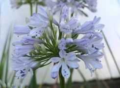 agapanthus-delft-kenneggy
