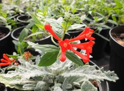 bouvardia-ternifolia-kenneggy