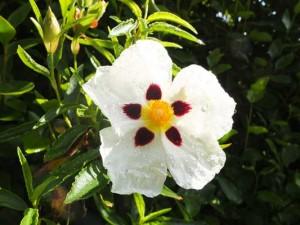 cistus-aguilarii-maculatus
