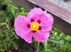 cistus-purpureus-kenneggy