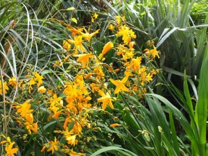 crocosmia-morning-light-kenneggy