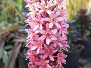 eucomis-sparkling-burgundy