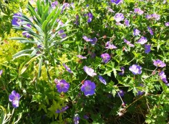 geranium-rozanne-kenneggy