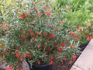 grevillea-big-red-2-kenneggy
