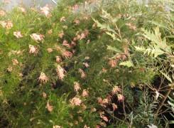 grevillea-semperflorens