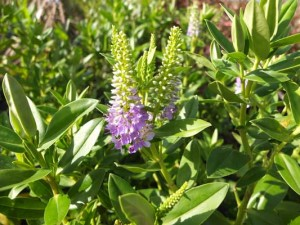 hebe-lavender-queen-kenneggy