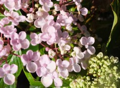 hydrangea--ayesha-kenneggy