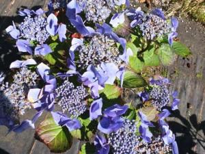 hydrangea-blaumeise-kenneggy