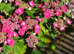 hydrangea-buchfink-kenneggy