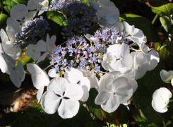 hydrangea-elster-kenneggy