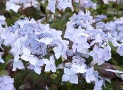 hydrangea-kenneggy-nurseries