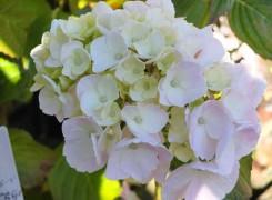 hydrangea-mousseline-kenneggy