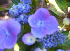 hydrangea-nachtigall-kenneggy