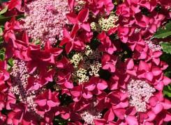 hydrangea-rotschwanz-kenneggy