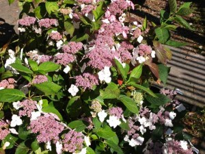 hydrangea-tokyo-delight-kennggy