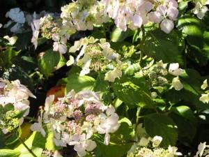 hydrangea-veitchii-kenneggy