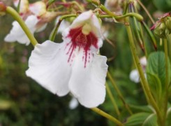 impatiens-tinctoria-kenneggy