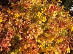 oxalis-sunset-velvet-kenneggy