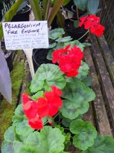 pelargonium-fire-engine