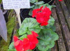 pelargonium-fire-engine