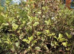 pittosporum-victoria-kenneggy