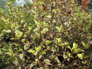pittosporum-victoria-kenneggy