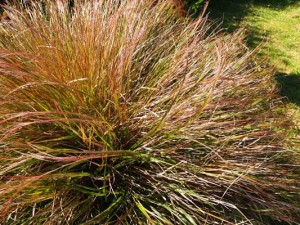 stipa-arundinacea-kenneggy