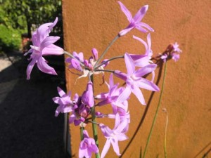 tulbaghia-john-may-special