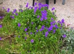 viola-avril-lawson-kenneggy