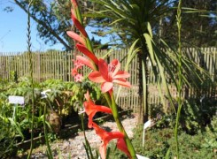 watsonia-hybrid-kenneggy