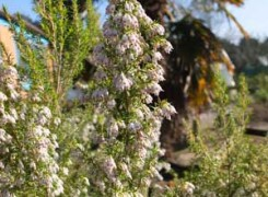erica-veitchii-exeter-kenneggy
