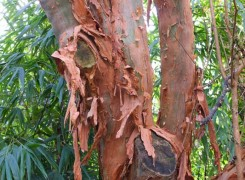 fuchsia-excorticata-bark-kenneggy