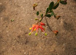 grevillea-alpina-kenneggy-2