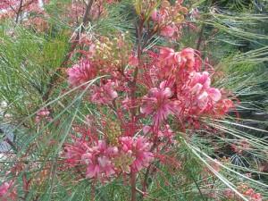 grevillea-johnsonii-kenneggy